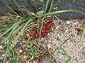 Pyrrhocoris apterus 2009 10.JPG