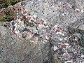 Quartzite & pebbly quartzite with jasper (Lorrain Formation, Paleoproterozoic, ~2.3 Ga; Ottertail Lake Northeast roadcut, near Bruce Mines, Ontario, Canada) 3 (47709090801).jpg