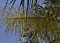 Queenpalmflowers.jpg