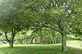 Quercus glauca kz04.jpg