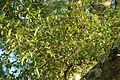 Quercus hemisphaerica (23530685574).jpg