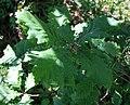 Quercus macranthera 2.jpg