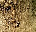 Quercus trojana (6).JPG