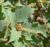 Quercus turbinella 2