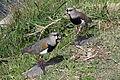 Quero quero vanellus chilensis.jpg