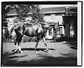Quidron, General Pershing's horse LCCN2016828691.jpg