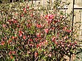 Quince buds blooming - panoramio.jpg