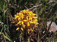 Quinchamalium chilense Molina.(pabloendemico)