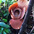 Rafflesia-flower.jpeg