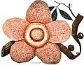 Rafflesia arnoldii - Choix des plantes rares ou nouvelles - plate 01 (1864).jpg