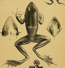 Rana humeralis - Annali del Museo civico di storia naturale di Genova (1887) (18384564826) (cropped).jpg