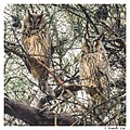 Ransuilen - Long-eared owls (15981311011).jpg