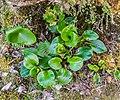 Ranunculus lyallii in Arthur's Pass NP 07.jpg