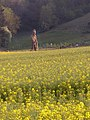 Rape field east of Butser Ancient Farm, Bascomb - geograph.org.uk - 426057.jpg