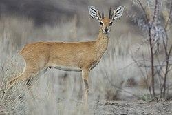 Raphicerus campestris male (Etosha, 2012).jpg