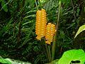 Rattlesnake Plant (Calathea crotalifera) (7090743299).jpg