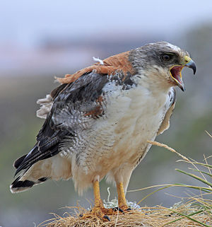 Variable hawk - Female in the Falkland Islands