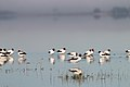 Red-necked Avocets (21717896626).jpg