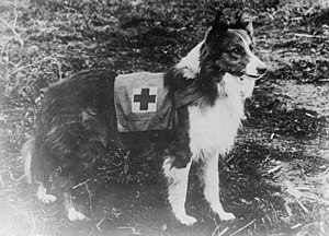 Search and rescue dog - Red Cross Collie, Italy, 1909.