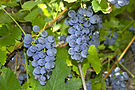 Red Grape - Vitis labrusca - Kiszombor, Hungary.jpg