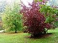 Red Leaves in the Rain, Batsford Arboretum (6) - geograph.org.uk - 1539011.jpg
