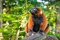 Red Ruffed Lemur (50350426806).jpg