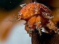 Red Sponge Crab (Lewindromia unidentata) (25377305407).jpg