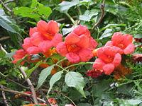 Red flowers bgiu
