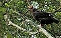Red headed vulture1.jpg