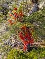 Red mistletoe, Kahurangi National Park, New Zealand 06.jpg