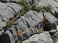 Red paintbrush Castilleja miniata in rock cracks.jpg