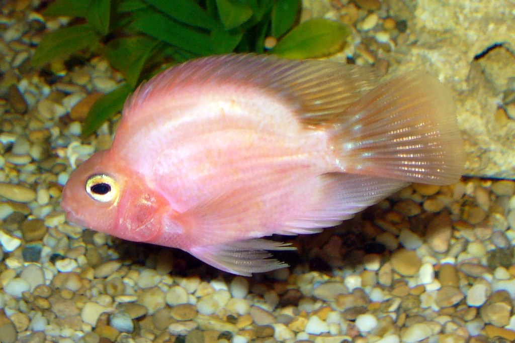 File red parrot fish 2008 wikimedia commons for Red parrot fish
