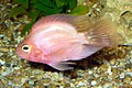 Red parrot fish 2008 G1.jpg