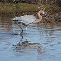 Reddish Egret (11669372214).jpg
