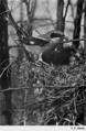 Reed-loggerhead-shrike.png