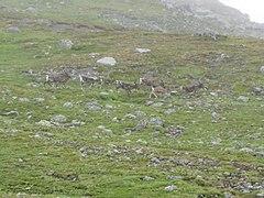 Reindeer in Jotunheimen.jpg