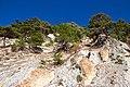 Relict pine forest near Dzhanhot - panoramio.jpg