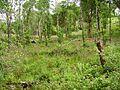 Restoration, Glengarriff Forest - geograph.org.uk - 263380.jpg