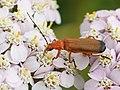 Rhagonycha fulva (on Achillea millefolium).jpg