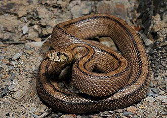 Ladder snake - Image: Rhinechis scalaris cropped