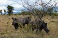 Rhinocéros en Afrique du Sud 1.JPG