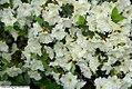 Rhododendron Bob White 2zz.jpg