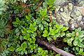 Rhododendron aureum 04.jpg