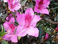 Rhododendron simsii WZBGSG.JPG