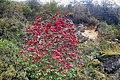 Rhododendron thomsonii, Western Arunachal AJTJ.jpg
