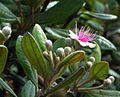 Rhodomyrtus.jpg