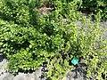 Ribes americanum - Copenhagen Botanical Garden - DSC08058.JPG