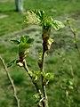 Ribes nigrum 2019-04-05 9125.jpg