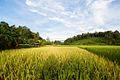 Rice Paddy at Mae Kon.jpg