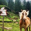 Rifugio Val di Fumo. Cavalli in libertà.jpg